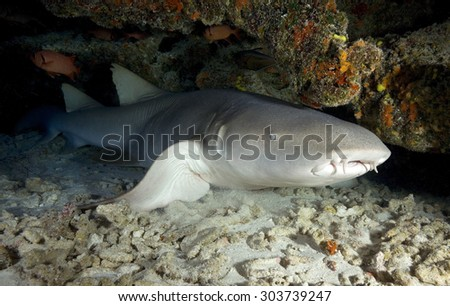 NURSE SHARK QUIET IN A UNDERWATER CAVE - stock photo