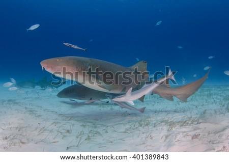 Nurse Shark, Shark in the Bahamas - stock photo