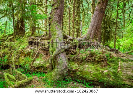 Nurse tree in Olympic National Park, Olympic Peninsula, Washington. Stock photo of young trees growing on and over a downed Nurse Tree in the Hall of Mosses in the Hoh Rainforest. - stock photo