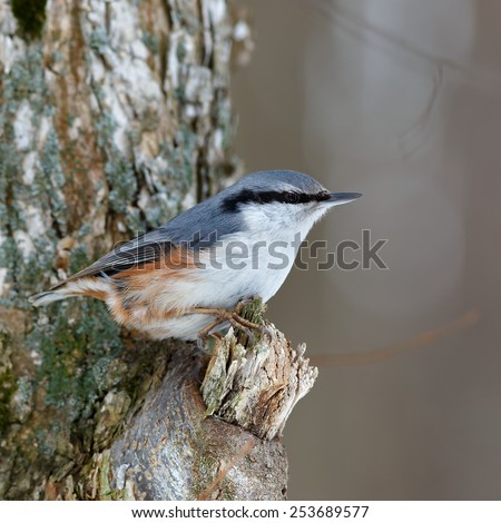 Nuthatch on a tree branch, looking for food. Sitta europaea - stock photo