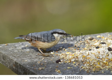 Nuthatch on bird feeder eating seed with a plain green background - stock photo