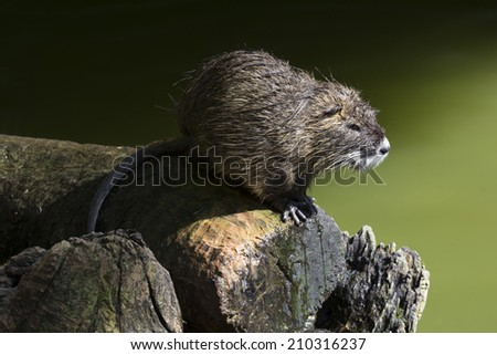 Nutria on the log by the river. - stock photo