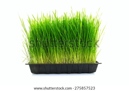 Nutritious Tray Of Homegrown Wheatgrass - stock photo