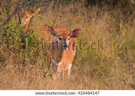 nyala, tragelaphus angasii, Kruger national park, South Africa - stock photo
