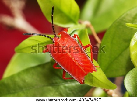 Nymph of the shield bug Pycanum rubens, bright red in color. - stock photo