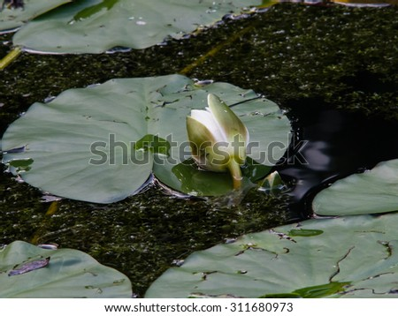 Nymphaea alba, also known as the European White Waterlily, White Lotus, White Water Rose or Nenuphar, bud macro, selective focus - stock photo