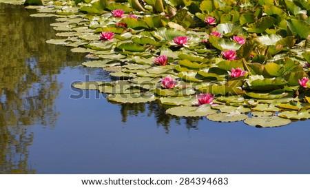 Nymphaea ,pink nymphea - Aquatic vegetation, water plants - stock photo