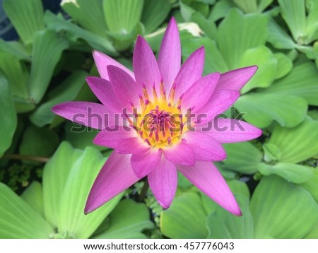 Nymphaeaceae is a family of flowering plants. Members of this family are commonly called water lilies and live as rhizomatous aquatic herbs in temperate and tropical climates around the world. - stock photo