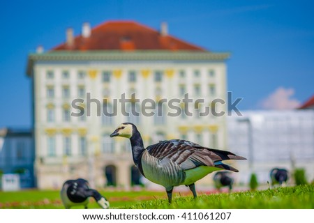 Nymphenburg, Germany - July 30, 2015: Grey birds on green grass standing with palace building facade sligthly burry background, beautiful ble sky background - stock photo