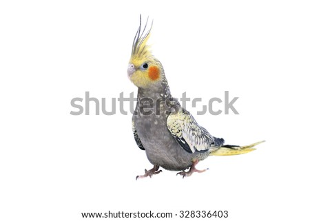 Nymphs parrot breed, closeup. Male. Exotic bird. - stock photo