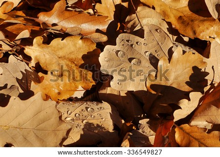 Oak autumn leaves with dew fallen to the ground - stock photo