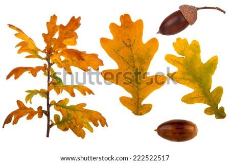 Oak branch set - stock photo