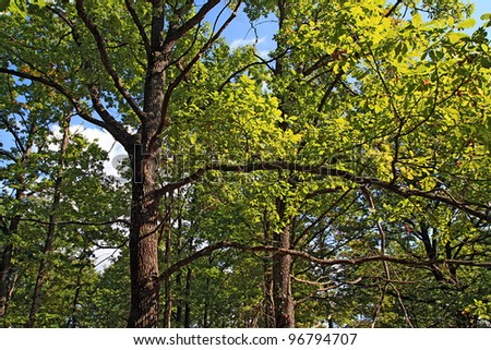 oak branches in autumn wood - stock photo