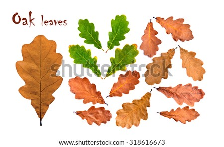 Oak fall and green leaves collection. Sharp and clean, large size - stock photo
