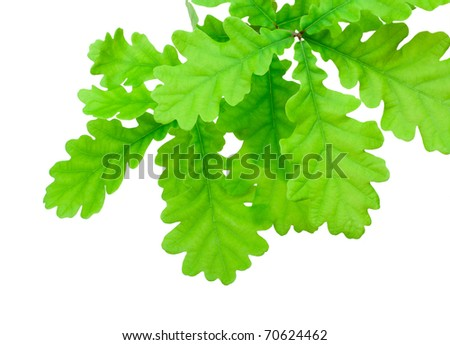Oak green branch on white background - stock photo