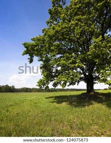 oak in the field - stock photo