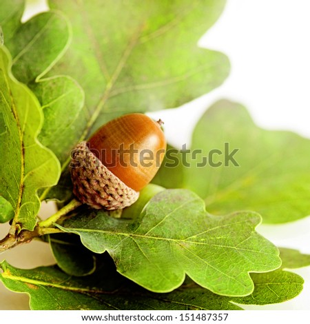 oak leaves and acorn on white background - stock photo
