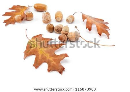 Oak leaves and acorns isolated on a white background. - stock photo