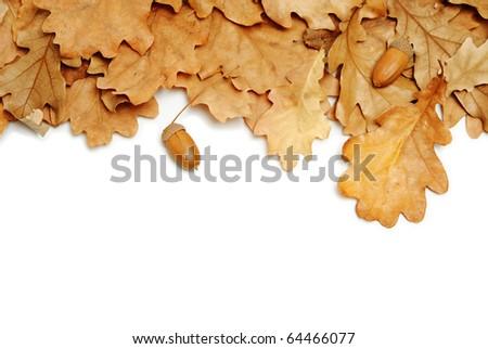 oak leaves and acorns on white background - stock photo