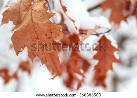Oak leaves are covered with snow. Winter theme. - stock photo