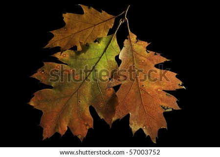 oak leaves autumn colors with backlight - stock photo