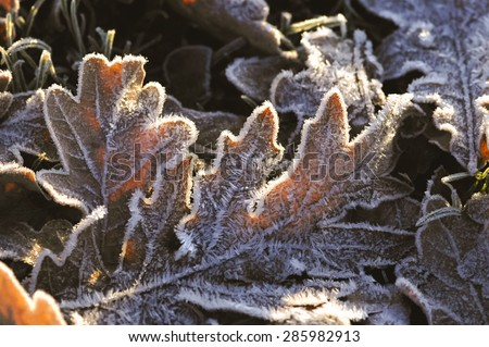 oak leaves covered in winter frost - stock photo