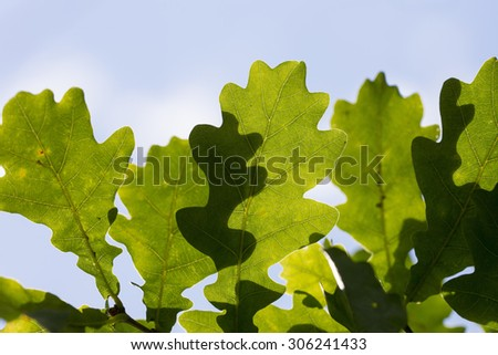 Oak leaves in the sunshine. Some blue sky is in the background. - stock photo