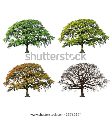 Oak tree abstract illustration of the four seasons, spring, summer, fall and winter over white background. - stock photo