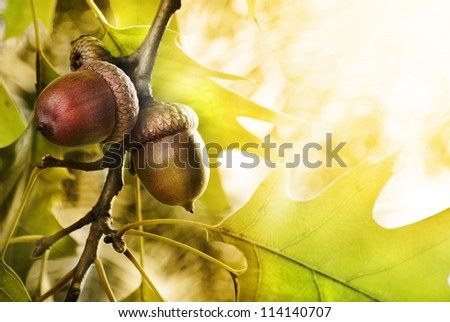 Oak tree and acorns with copyspace - stock photo