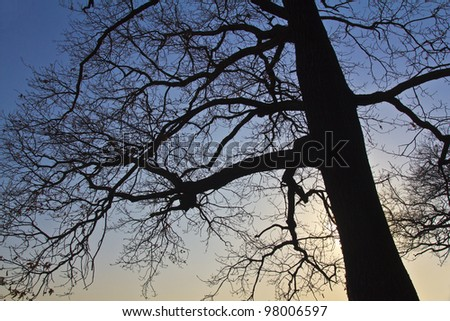 Oak tree in contre-jour during sunset - stock photo