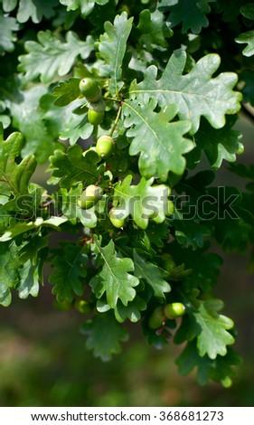 oak tree in summer - stock photo