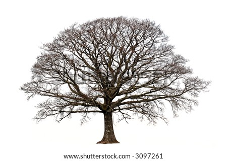 Oak tree in winter devoid of leaves set against a white background. - stock photo