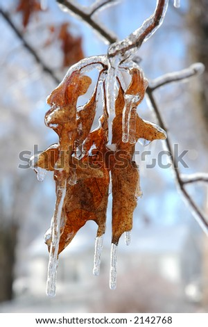 Oak tree leaf covered in ice. - stock photo