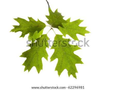 Oak tree leaves - stock photo