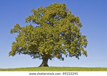 oak tree on green meadow - stock photo
