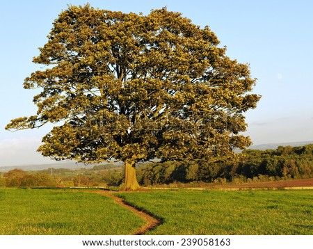 Oak Tree Standing in a Green Field Bathed in Warm Evening Sunlight - stock photo