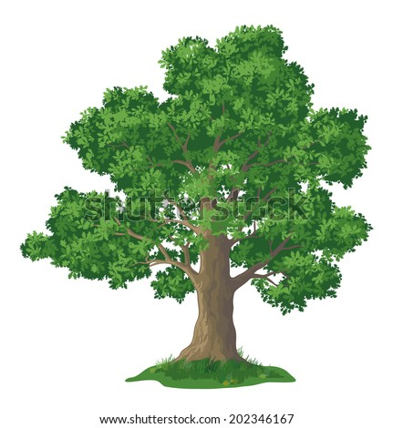 Oak tree with leaves and green grass, isolated on white background. - stock photo