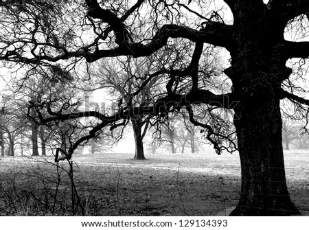 Oak trees in black and white. - stock photo