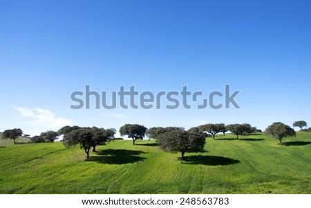 oak trees in field of alentejo,Portugal - stock photo