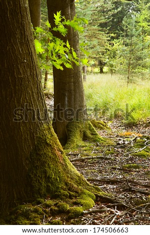 Oak trunks with mosses in the forest in summer  - stock photo