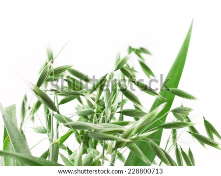 Oat ears isolated on white background  - stock photo