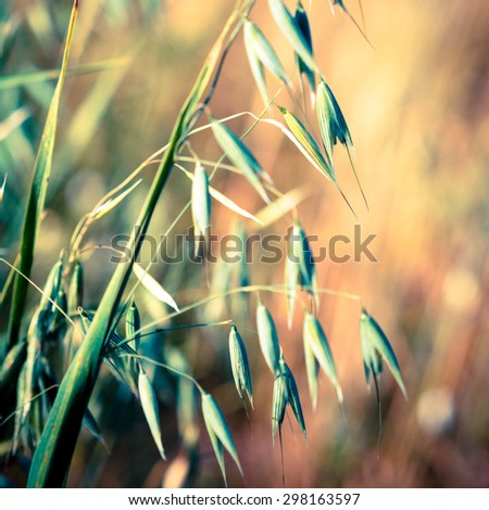 Oat ears with grains, soft focus and blurred effect. Agricultural background - ripe spikes of oats on the field closeup. - stock photo