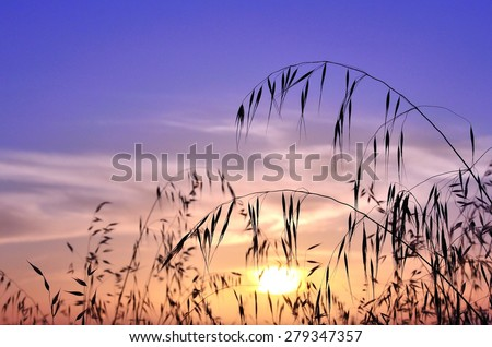 Oat field with color effects at sunrise - stock photo