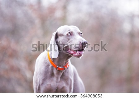 obedient, happy, beautiful, healthy and young weimaraner dog or puppy patiently standing alone on a dirt road, hunting, winter nature - stock photo
