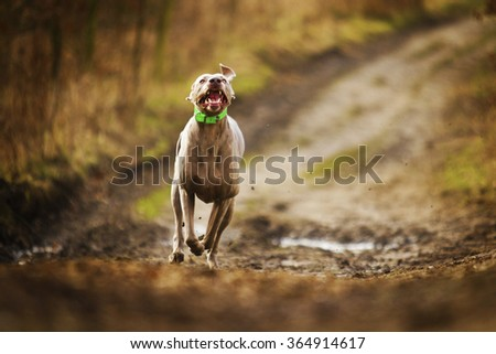 obedient, happy, beautiful, healthy and young weimaraner dog or puppy quickly runs along a dirt road in the forest, autumn nature, hunting - stock photo