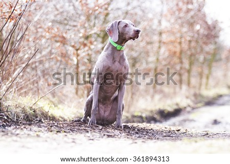 obedient, happy, beautiful, healthy and young Weimaraner dog or puppy sitting standing alone on a dirt road, hunting, winter nature - stock photo