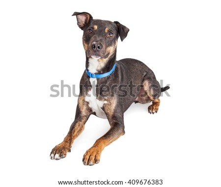 Obedient medium-sized mixed breed black and brown dog laying over white - stock photo