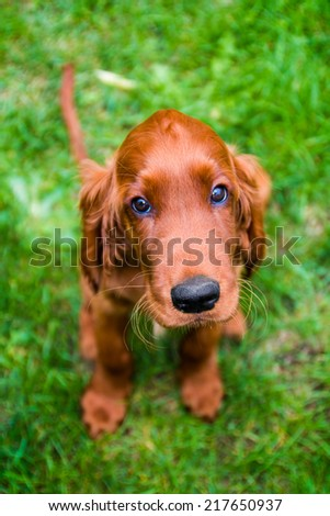 Obedient puppy of irish setter with innocent look - stock photo