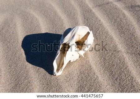 Oblong white kangaroo skull with shadow on pristine, windswept beach sand in Western Australia/Kangaroo Skull in Sand/Kangaroo Abstract, Western Australia - stock photo