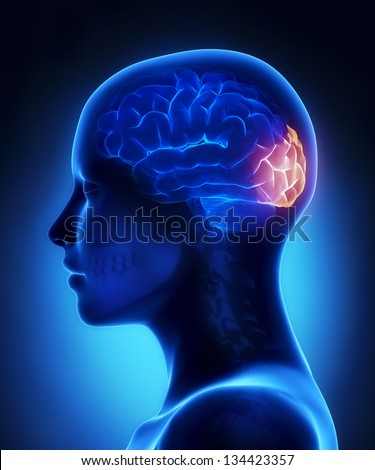 Occipital lobe - female brain anatomy lateral view - stock photo